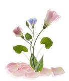 Kwiatu lisianthun odosobniony biały tło Obraz Stock