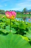 kwiatu lotos Fotografia Stock