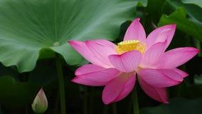kwiatu lotos zbiory