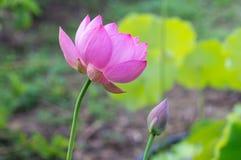 kwiatu lotos Obrazy Royalty Free