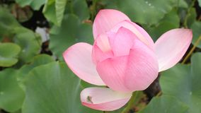kwiatu lotos zdjęcie wideo
