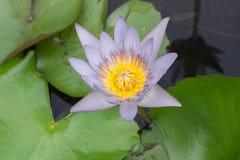 kwiatu lotos Obraz Stock
