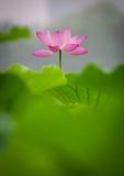 kwiatu lotos Zdjęcia Stock