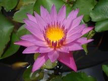 kwiatu lotos Fotografia Royalty Free