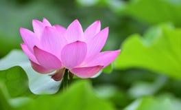 kwiatu lotos Zdjęcie Stock