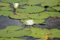 kwiatu lotos Zdjęcie Royalty Free