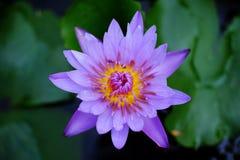 kwiatu lotos Obrazy Stock