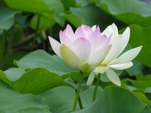 kwiatu lotos Obraz Royalty Free