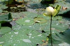 kwiatu lotos Perdana ogród botaniczny kuala Lumpur Malezja zdjęcie stock