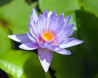 kwiatu lotos z bliska Obrazy Royalty Free