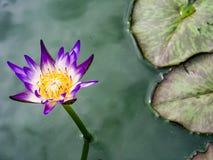 Kwiatu lotosowy kwiat Obrazy Royalty Free