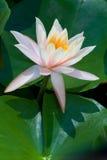 kwiatu lotosu menchie Zdjęcie Stock