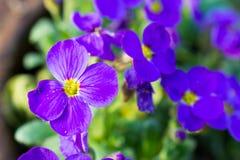 kwiatu mały fiołek obraz stock