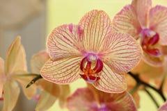 kwiatu ćma orchidei menchie Zdjęcia Stock