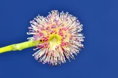 kwiatu macro Obrazy Stock