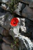 kwiatu maczek Zdjęcia Royalty Free