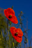 kwiatu maczek Obraz Royalty Free