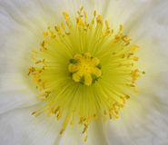 kwiatu maczek Zdjęcie Stock