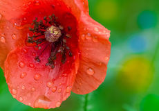 kwiatu maczek Zdjęcia Stock
