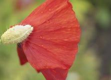 kwiatu maczka czerwień Fotografia Stock