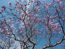 kwiatu magnolii drzewo Obrazy Royalty Free