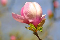 kwiatu magnolii menchie Obraz Stock
