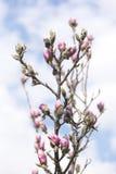 kwiatu magnolii menchie Zdjęcia Stock