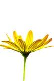 kwiatu makro- obrazka kolor żółty Zdjęcia Royalty Free
