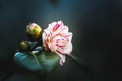 kwiatu makro- płatków fotografii pistil różanych stamens super biel Obrazy Royalty Free