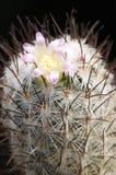 kwiatu mammillaria Obraz Royalty Free
