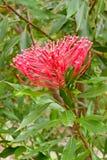 kwiatu miejscowego waratah Zdjęcia Royalty Free