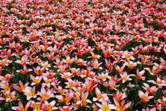 Kwiatu morze Zdjęcie Stock