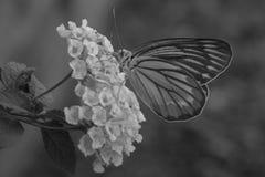 Kwiatu motyl Obraz Royalty Free