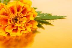 kwiatu nagietek Zdjęcie Royalty Free