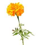 kwiatu nagietek Zdjęcie Stock