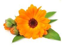 kwiatu nagietek Obraz Royalty Free