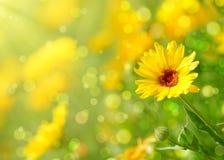 kwiatu nagietek Fotografia Stock