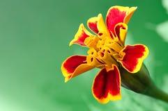 kwiatu nagietka czerwień Obraz Royalty Free