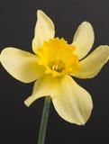 kwiatu narcyz Obraz Stock