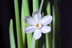 kwiatu narcyza paperwhite Obrazy Royalty Free