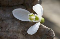kwiatu nfirst wiosna Fotografia Stock