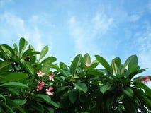 Kwiatu niebo Tajlandia Fotografia Stock