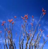 kwiatu ocotillo Fotografia Stock