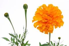kwiatu odosobniony nagietka biel Fotografia Stock