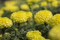 kwiatu odosobniony nagietka biel Zdjęcia Stock