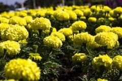 kwiatu odosobniony nagietka biel Obrazy Royalty Free