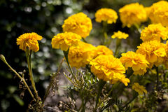 kwiatu odosobniony nagietka biel Obraz Royalty Free