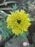 kwiatu odosobniony nagietka biel Obraz Stock