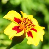 kwiatu odosobniony nagietka biel Fotografia Royalty Free