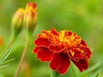 kwiatu odosobniony nagietka biel Zdjęcie Stock